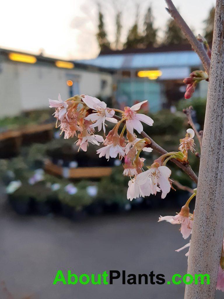 Prunus Autumnalis Rosea