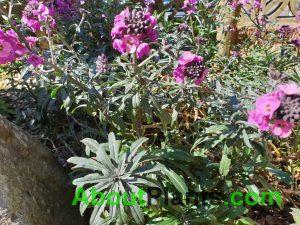 Bowles Mauve Wallflower
