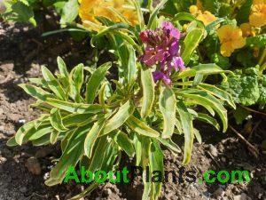 Wallflower (Erysimum)