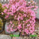 Evergreen Azalea Pink