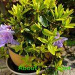 Evergreen Azaleas