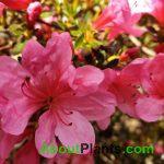 Evergreen Azaleas Pink