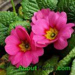 Primrose Pink Flower