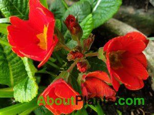Bright Red Primrose