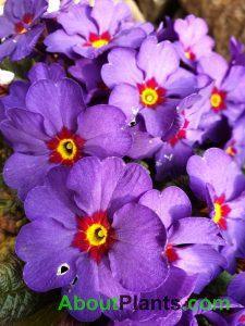 Primrose Violet