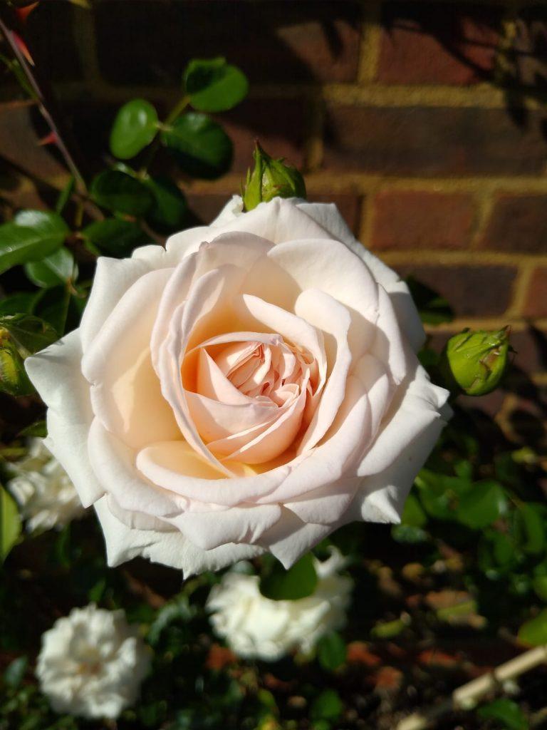 White Rose Single